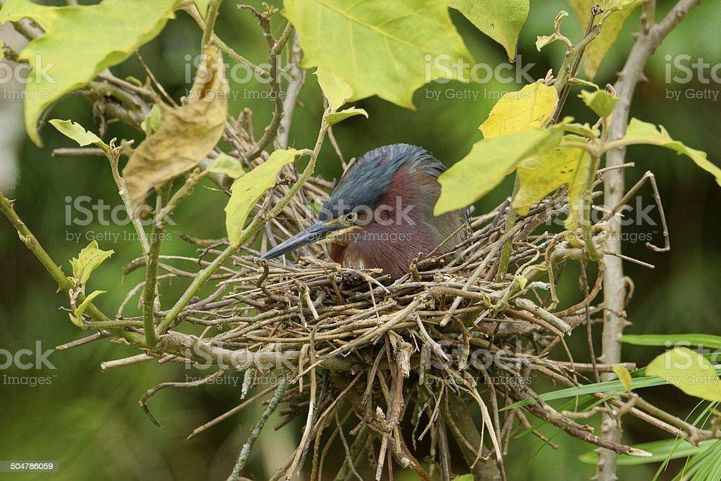 Green Heron on nest stock photo