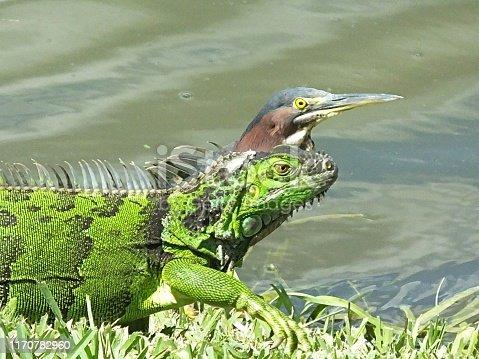 Green Heron and Green Iguana