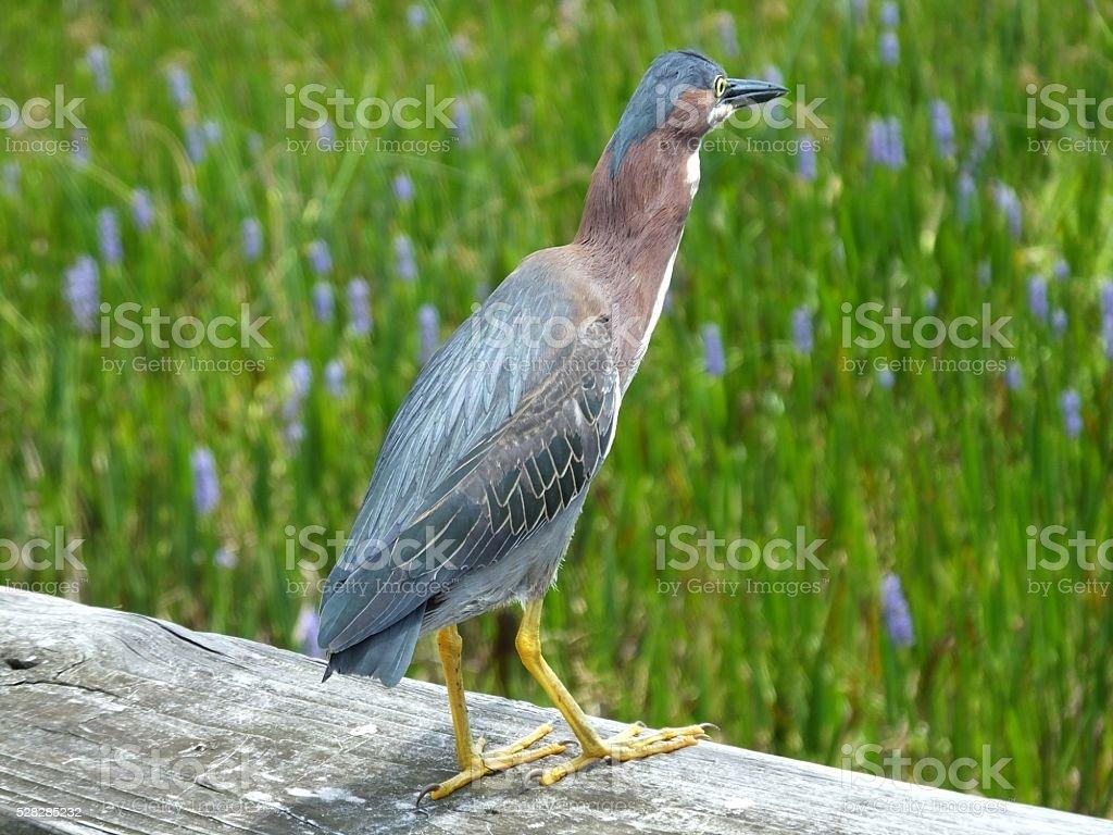 Green Heron (Butorides virescens) stock photo