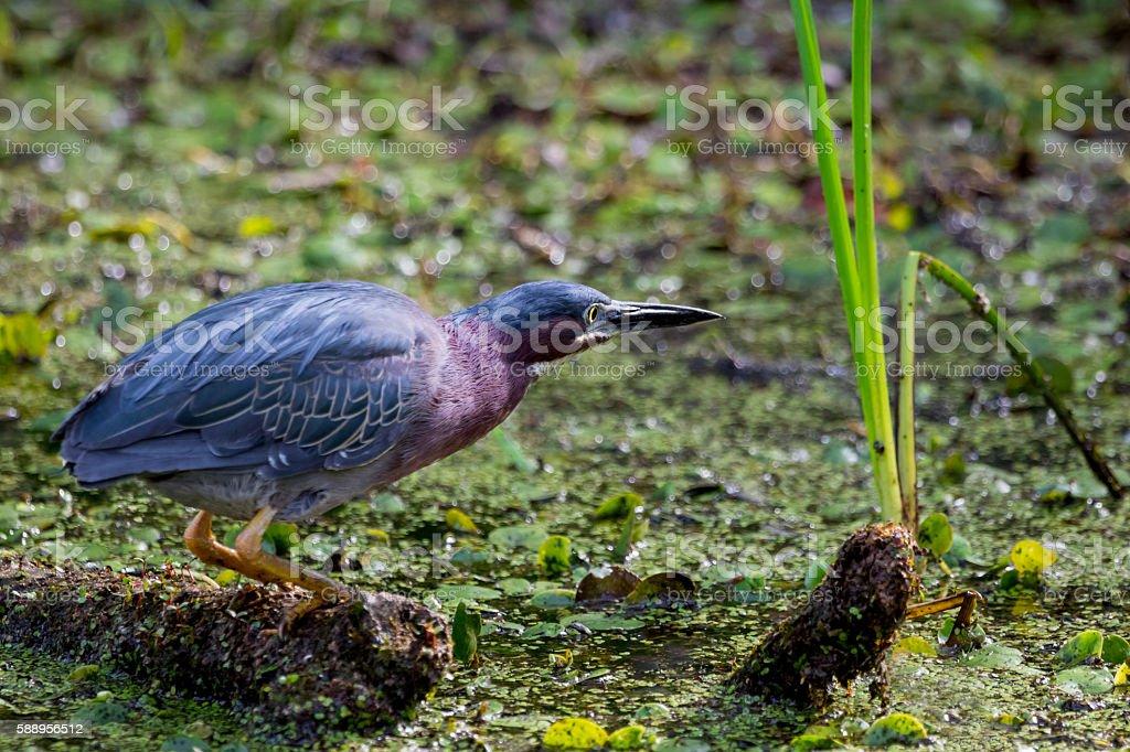 Green Heron stock photo