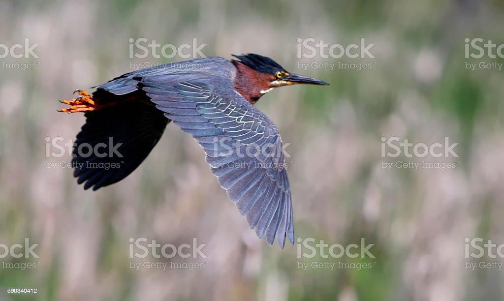 Green heron  Lizenzfreies stock-foto