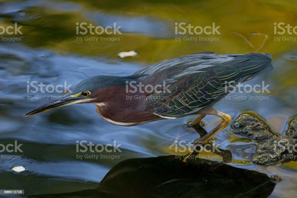 Green heron (Butorides virescens) royalty free stockfoto