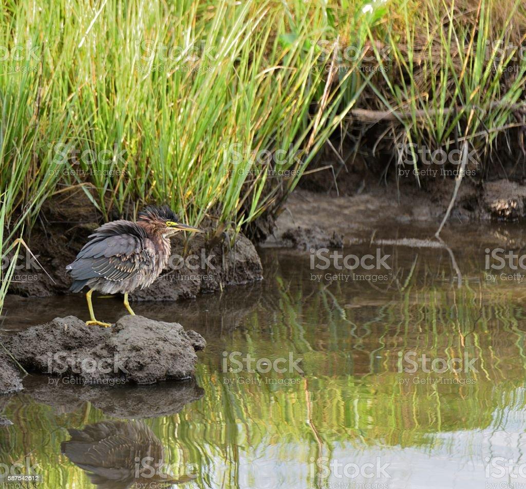Green Heron Ruffled Up stock photo