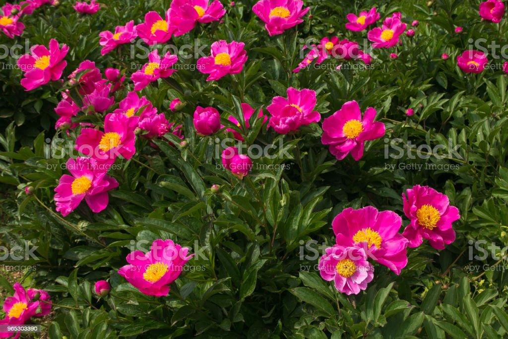 Green hill with pink peony in the spring season zbiór zdjęć royalty-free