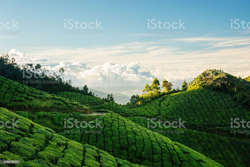 Green hills of Kolukkumalai tea plantations in Munnar stock photo