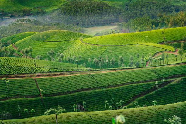 Green hills of tea plantations in Munnar stock photo