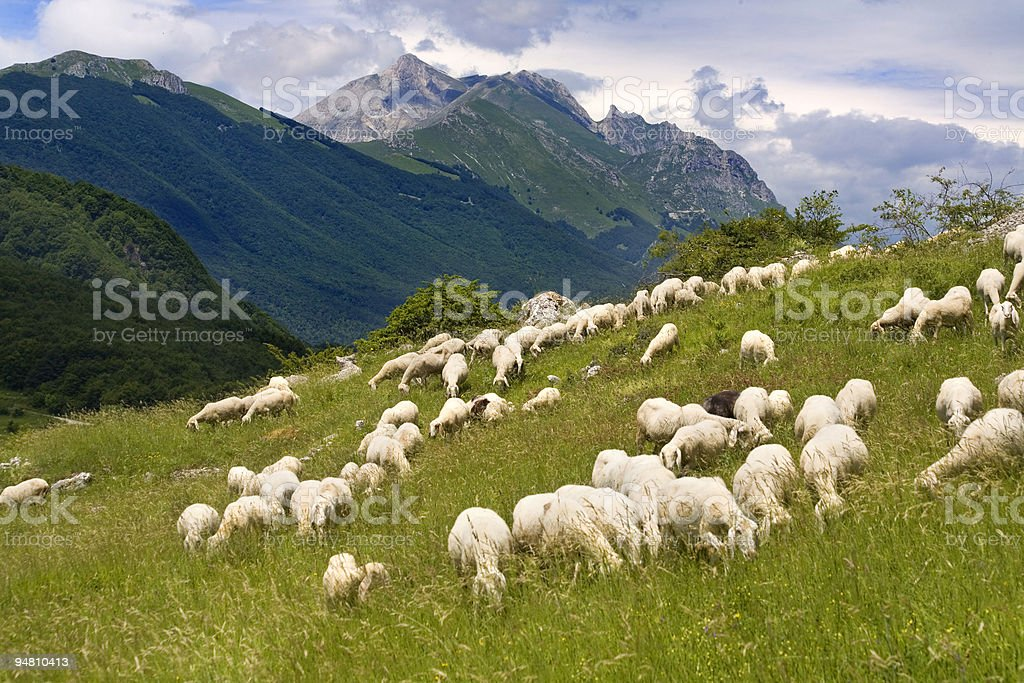 Green hills with a flock of sheep grazing stock photo