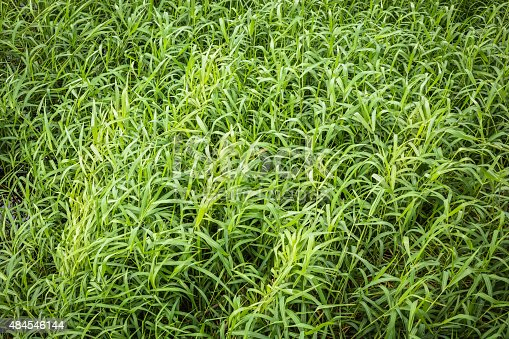 istock Green hollow grass background texture. 484546144