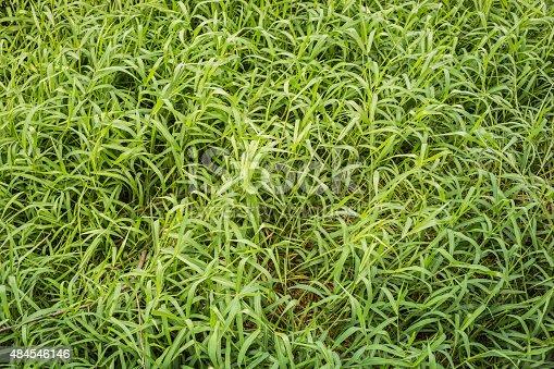istock Green hollow grass background texture. 484546146