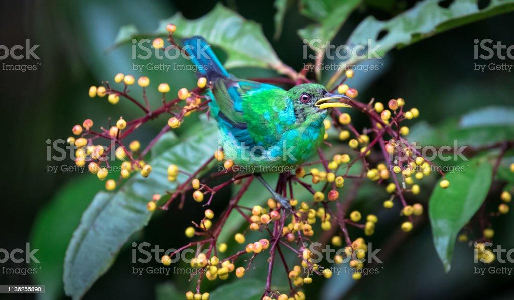 Green honeycreeper , male juvenile, near Puerto Viejo de Sarapiqui,...