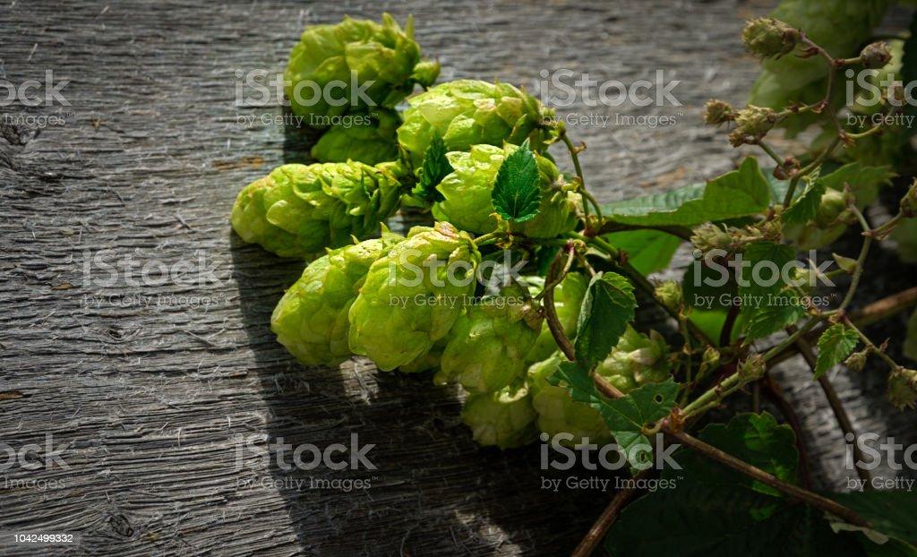 Green hop cones close up stock photo