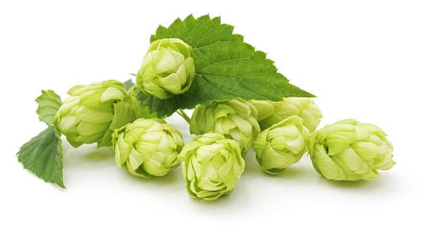 Green hop. stock photo
