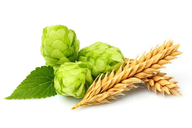 Green hops, ears of barley and wheat grain. stock photo