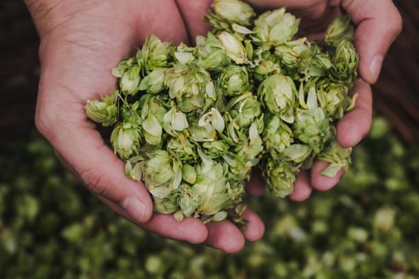 ビール用グリーンホップ - 熟した ストックフォトと画像