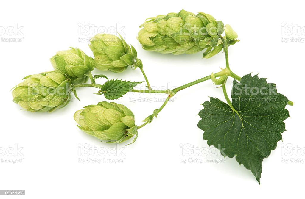 Green hops leaves isolated on white background stock photo