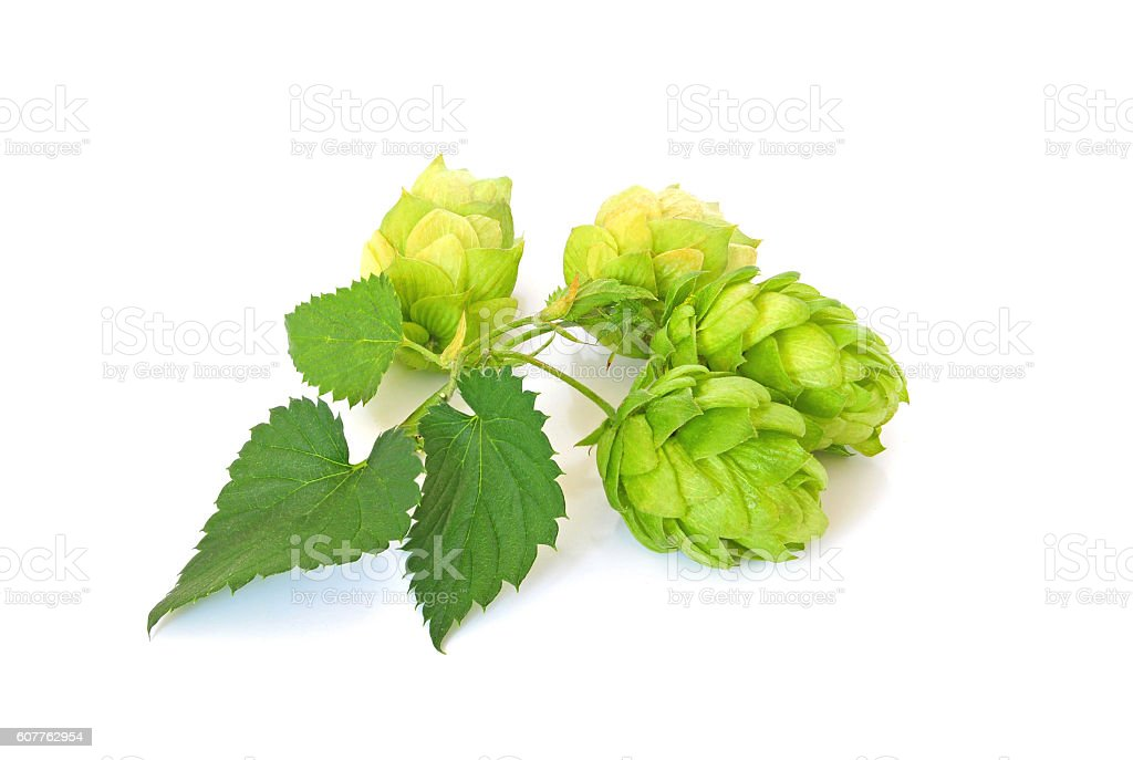 Green hops on white background – Foto