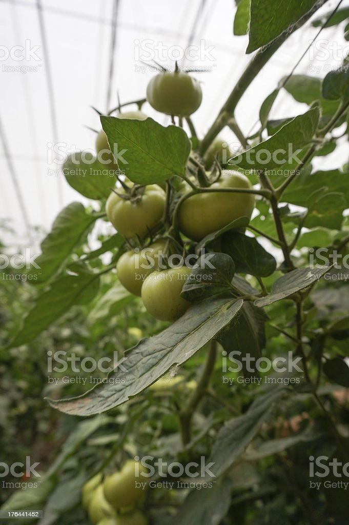 green house vegetable royalty-free stock photo