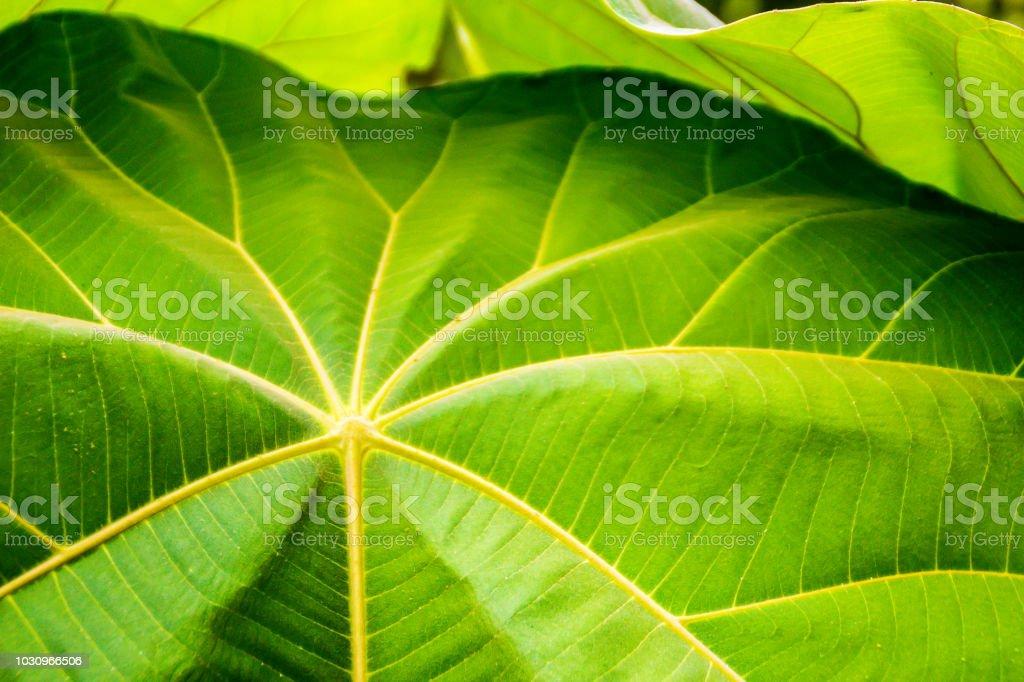 Foto De Folhas Verdes Enormes De Macaranga Gigantea Arvore Uma Arvore Perene Crescimento Rapido Nativa Do Sudeste Da Asia As Grandes Folhas Contem Substancias Bioativas Com Propriedades Antibacterianas E Antioxidante E Mais