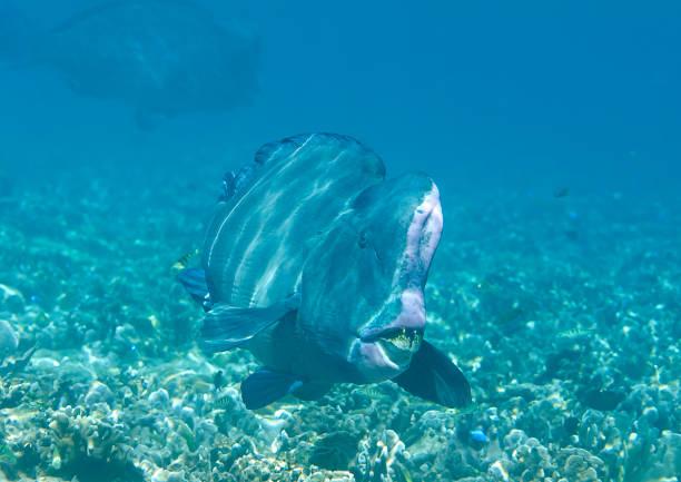 Grüne Beginn Papageienfische schwimmen über Korallenriff von Raja Ampat – Foto