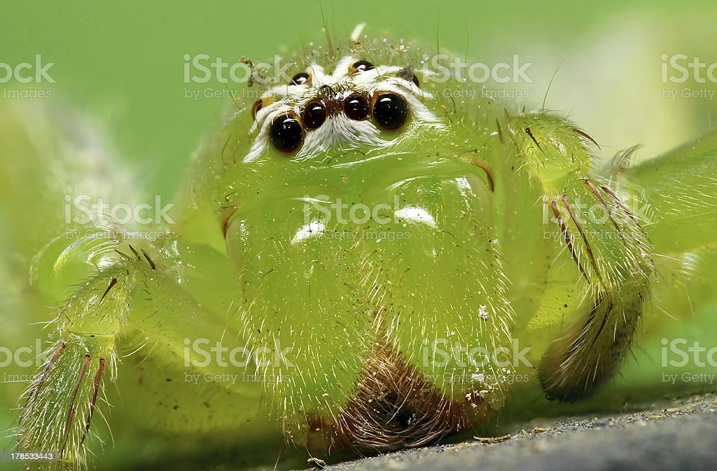Green Huntsman Spider royalty-free stock photo