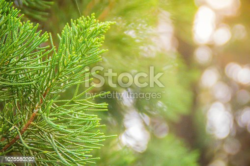 Green hybrid Juniperus Chinensis pine tree (Juniperus junghuniana mig.) or dragon pine tree with soft blurred focus. Chinese juniper (Juniperus chinensis), is evergreen conifer that is native to China