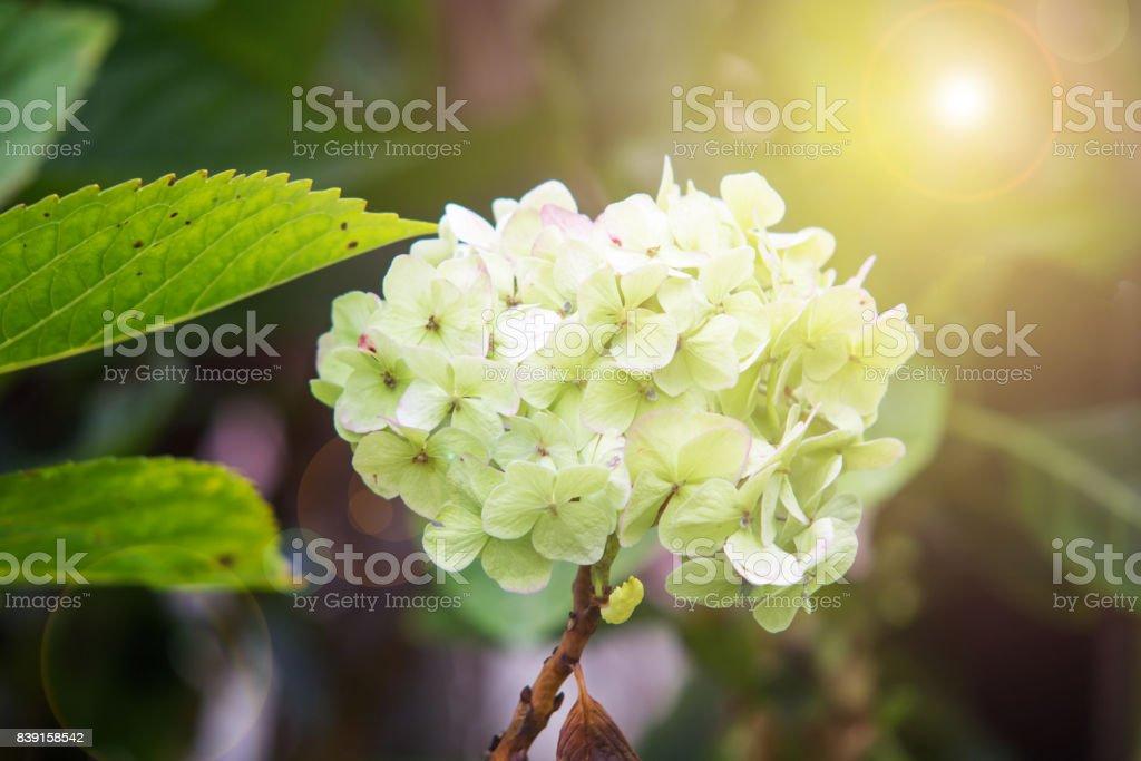Green Hydrangea flower in the garden with warm lighting stock photo