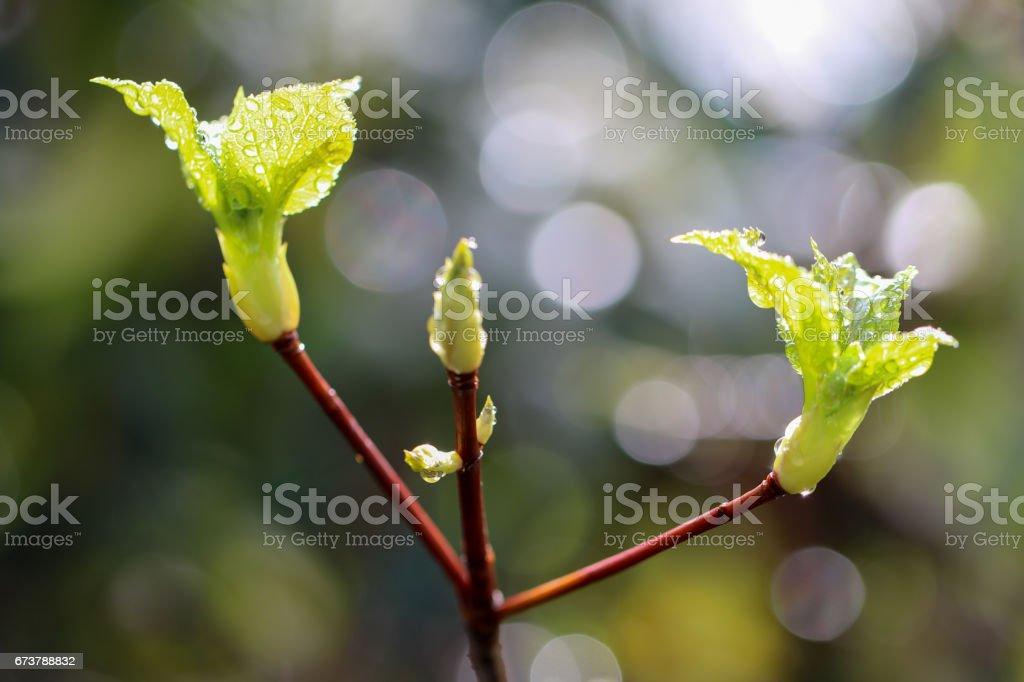 Yeşil ortanca bırakır ve yağmur damlaları güneş ışığında ışıltı royalty-free stock photo