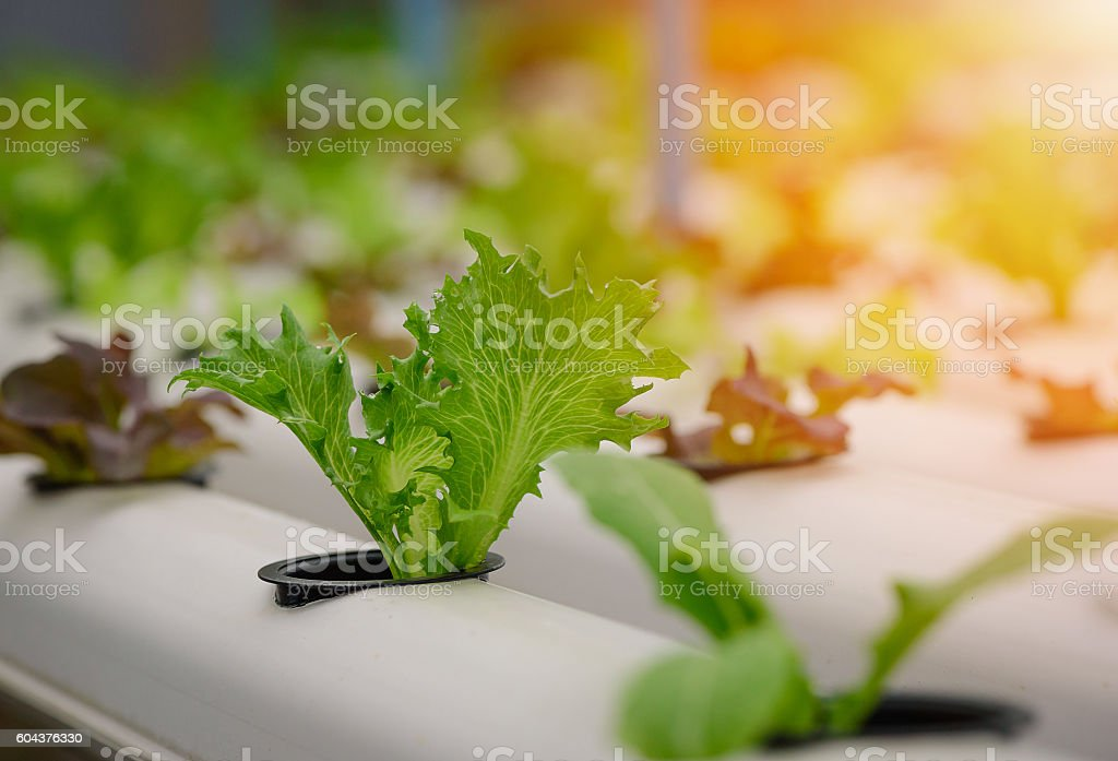 Green hydroponic organic salad vegetable in farm, Thailand. Selective focus – Foto