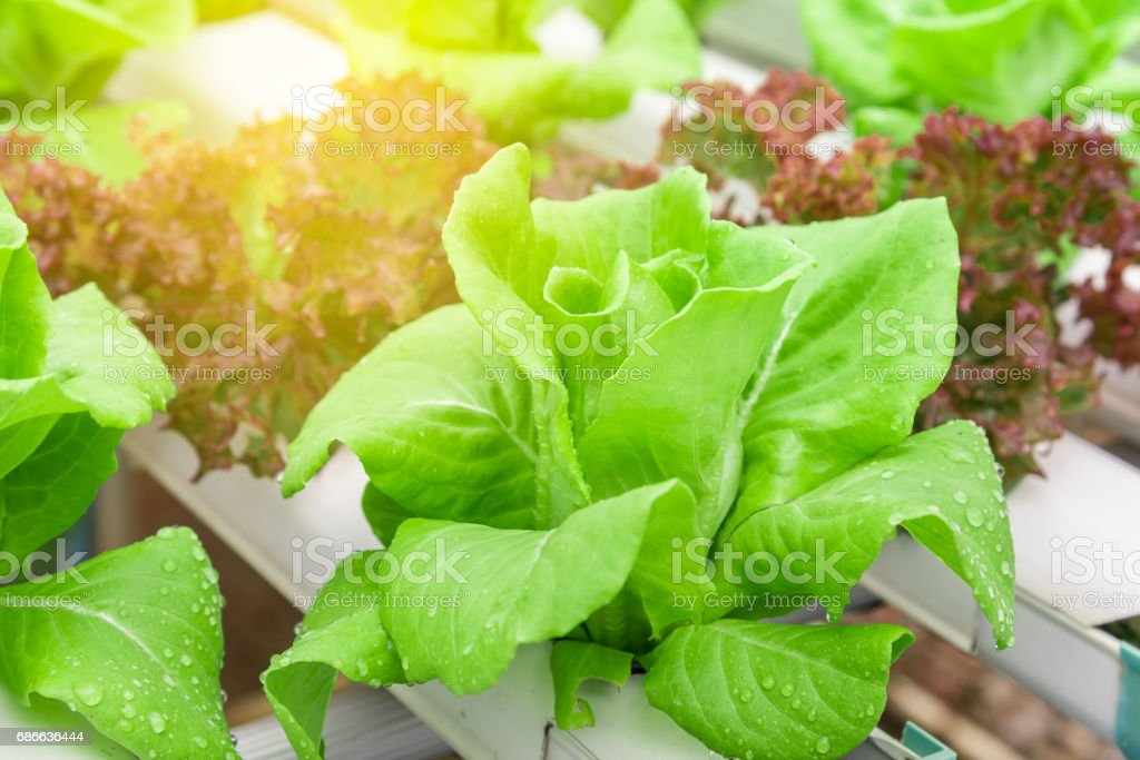 Green hydroponic organic salad vegetable with purple in plant. Hydroponics vegetable method of growing plants, Using mineral nutrient solutions, In water, without soil. royalty-free stock photo