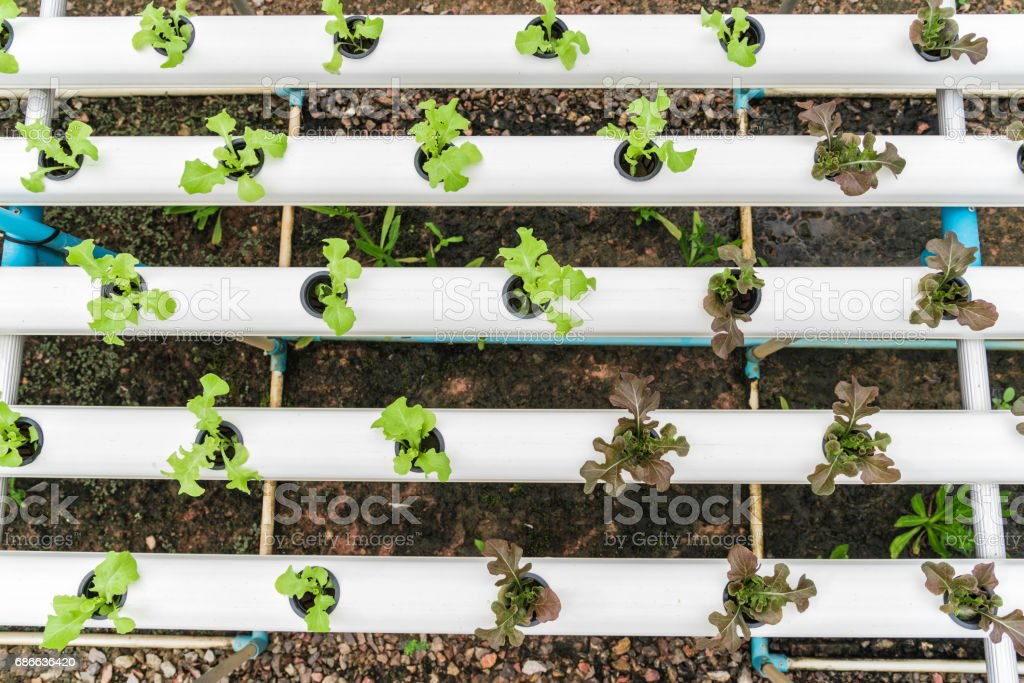 Green hydroponic organic salad vegetable with purple in plant. royalty-free stock photo