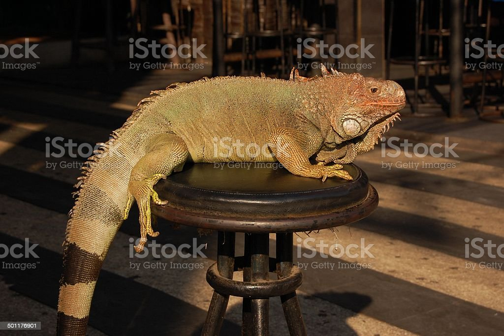 Green iguana abused for entertainment royalty-free stock photo