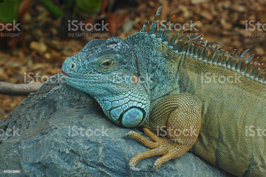 Verde iguana, un reptil exótico descansando sobre una piedra grande en un hábitat artificial creado - foto de stock