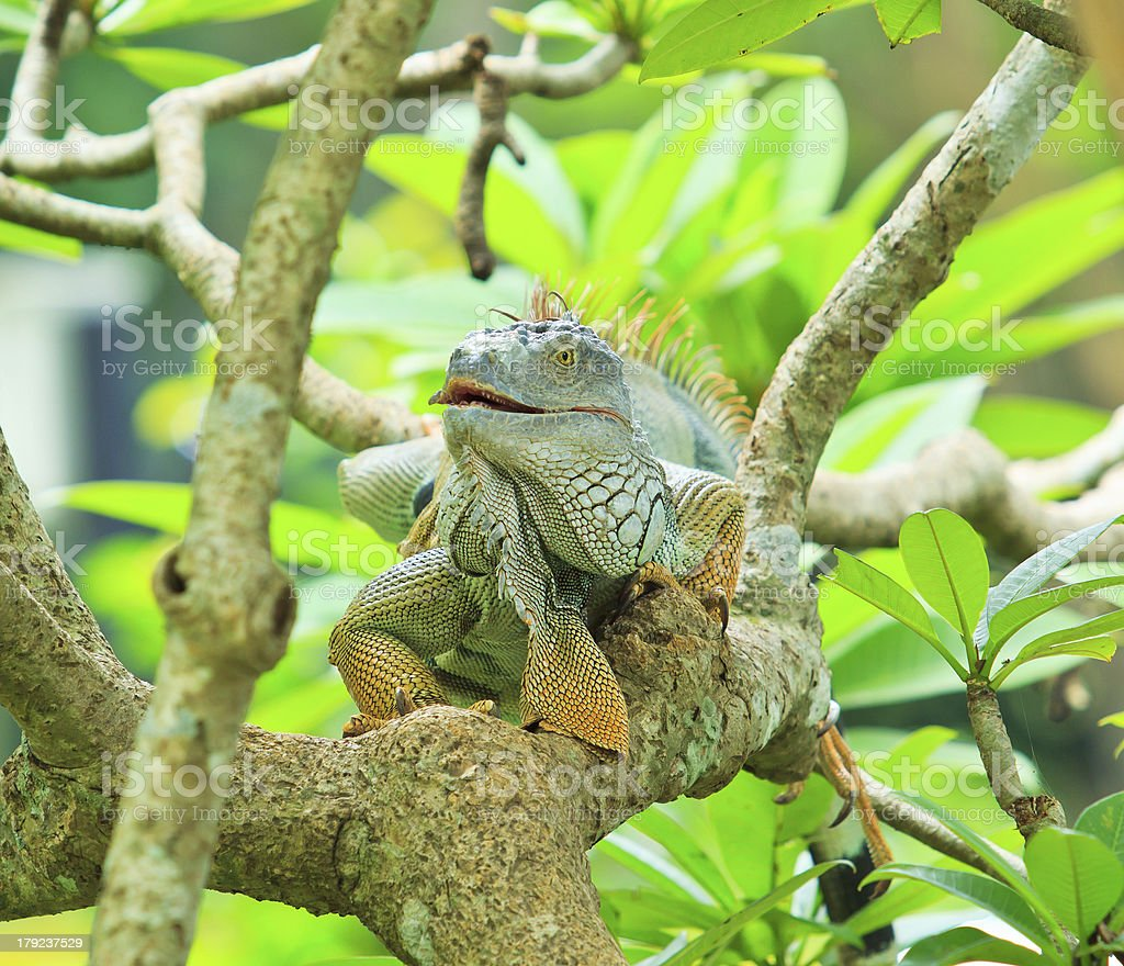 Green iguana climb on the branch stock photo