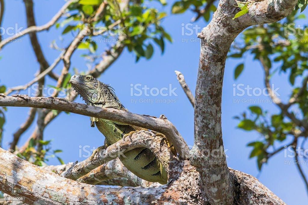 Green iguana climbing a tree near the old Belize river stock photo