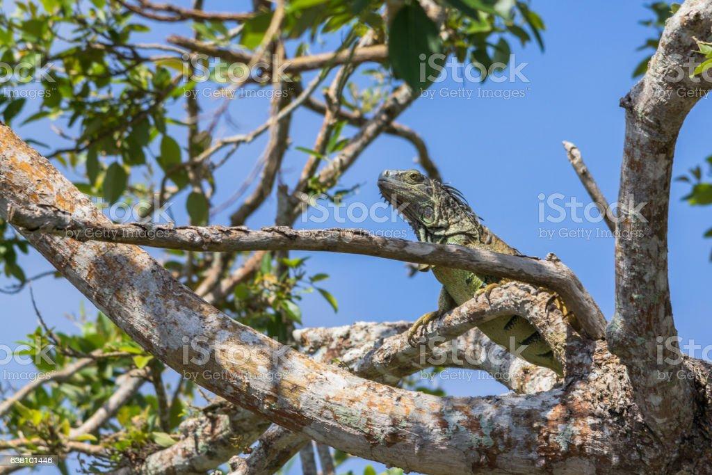 Green iguana climbing high into a tree near Belize river stock photo
