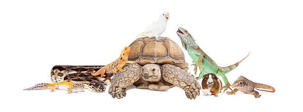 그린이구아나 클로즈업 흰색 - 파충류 뉴스 사진 이미지