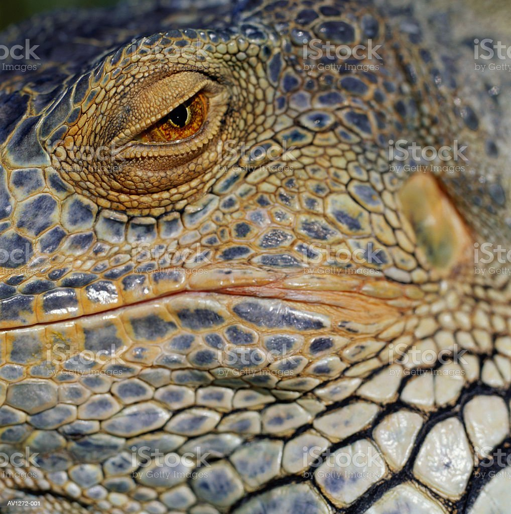 Green Iguana (Iguana iguana) detail of eye royalty-free stock photo