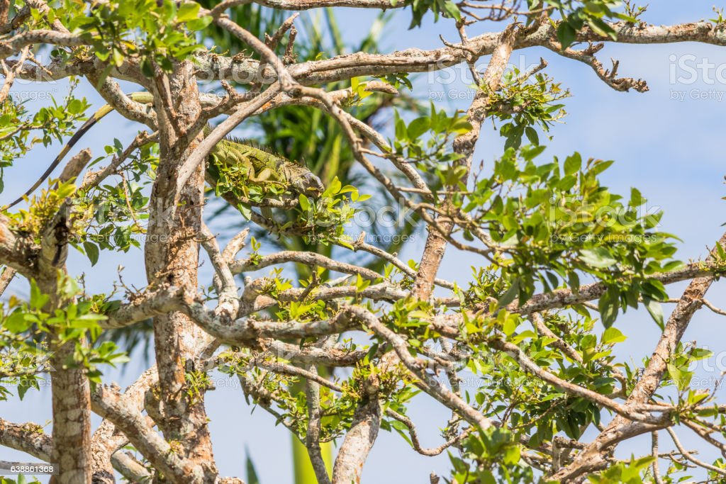 Green iguana eating leaves in a tree stock photo