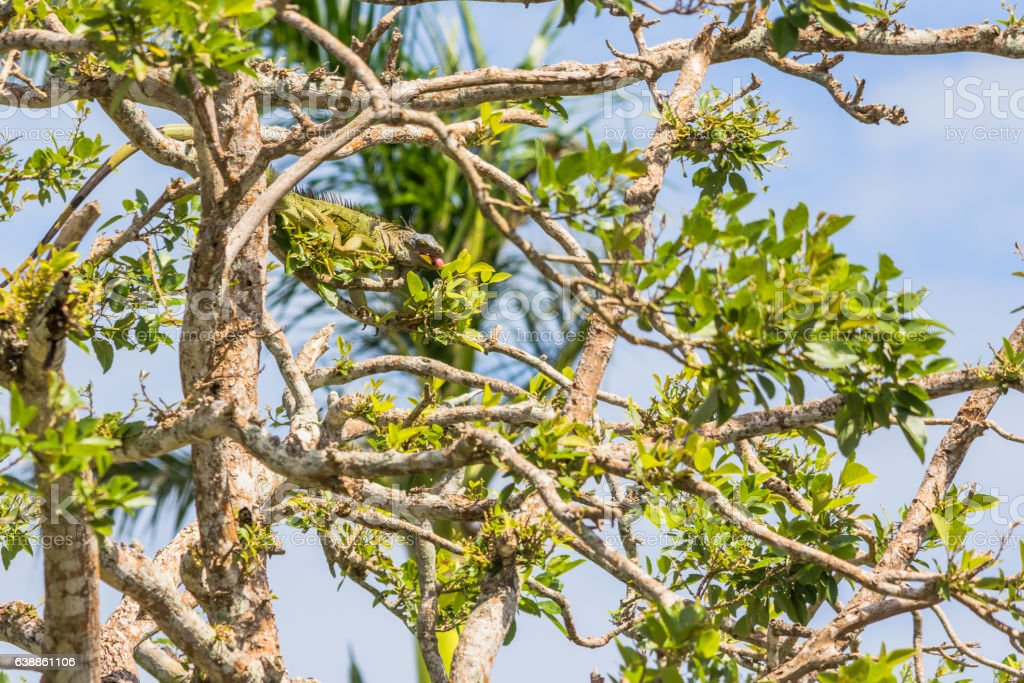 Green iguana eating with his tongue out in a tree stock photo