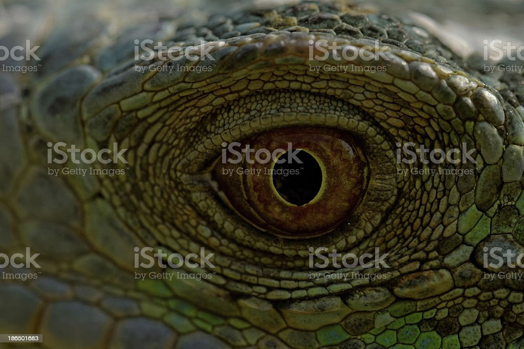 green iguana eye royalty-free stock photo