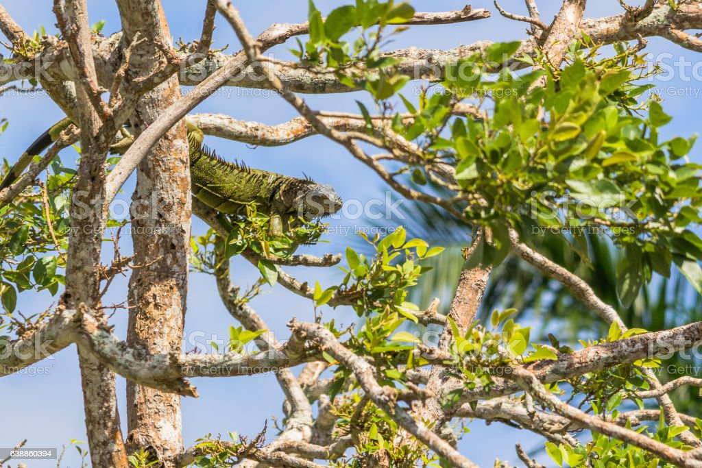 Green iguana going for a snack near the Belize river stock photo
