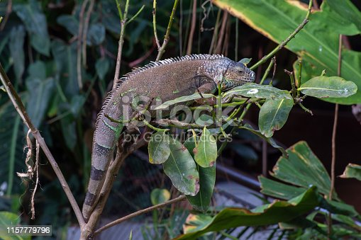 istock A Green Iguana (Iguana iguana) hangs out on a tree branch in the rainforest showing off its full length body and lengthy tail. 1157779796