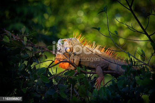 istock Green iguana - Iguana iguana  also known as the American iguana, is a large, arboreal, mostly herbivorous species of lizard of the genus Iguana 1163596807