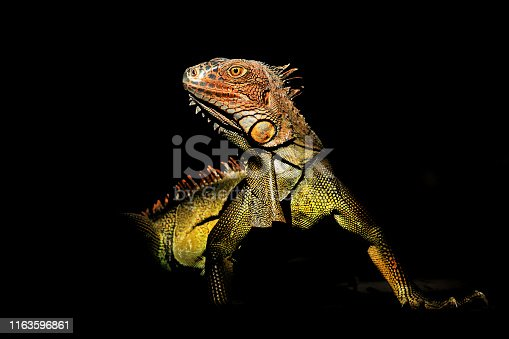 istock Green iguana - Iguana iguana  also known as the American iguana, is a large, arboreal, mostly herbivorous species of lizard of the genus Iguana 1163596861