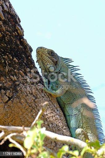 istock Green Iguana, Iguana Iguana, also known as the American Iguana, Pantanal, Porto Jofre, Mato Grosso, Brazil 1129116364