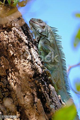 istock Green Iguana, Iguana Iguana, also known as the American Iguana, Pantanal, Porto Jofre, Mato Grosso, Brazil 1129116368