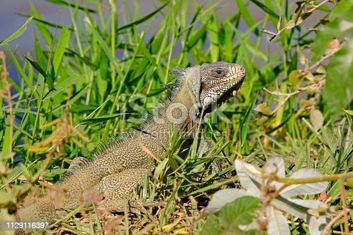 istock Green Iguana, Iguana Iguana, also known as the American Iguana, Pantanal, Porto Jofre, Mato Grosso, Brazil 1129116397