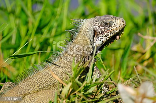 istock Green Iguana, Iguana Iguana, also known as the American Iguana, Pantanal, Porto Jofre, Mato Grosso, Brazil 1129116412