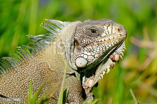 istock Green Iguana, Iguana Iguana, also known as the American Iguana, Pantanal, Porto Jofre, Mato Grosso, Brazil 1129116431