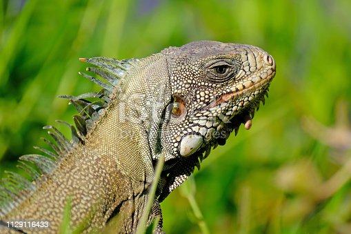istock Green Iguana, Iguana Iguana, also known as the American Iguana, Pantanal, Porto Jofre, Mato Grosso, Brazil 1129116433